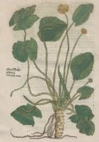 Brunfels, Otto (ca 1488-1534), 1539, Herbarium