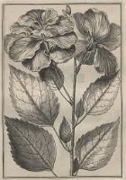 Breyne, Jakub (1637-1697), [1678], Jacobi Breynii Gedanensis Icones Exoticarum aliarumque Minus Cognitarum Plantarum in Centuria Prima desciptarum.